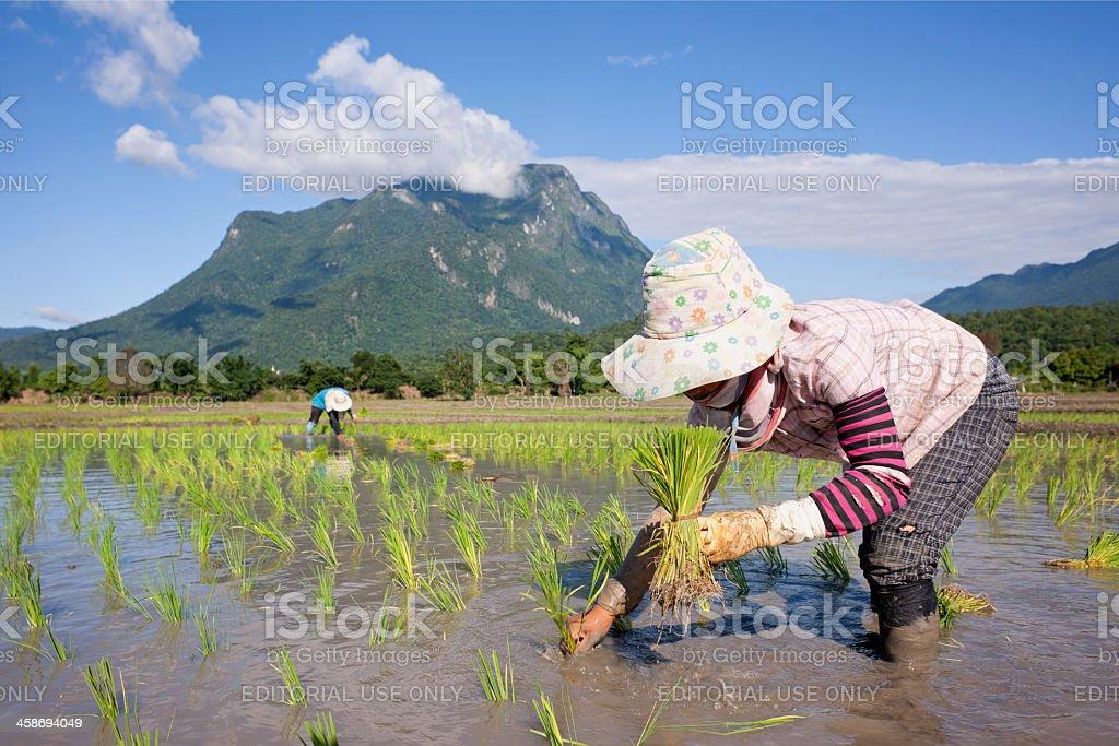 Planting rice seedlings. royalty-free stock photo