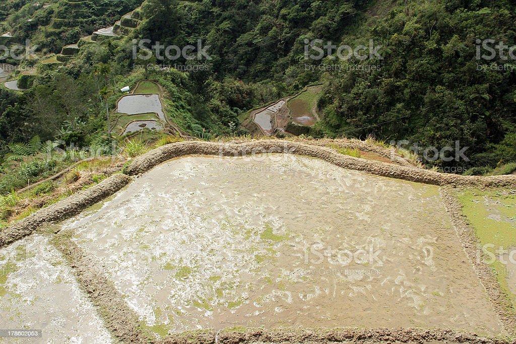 Piantare stagione terrazze di riso di Banaue foto stock royalty-free