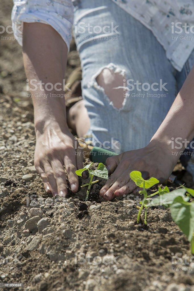 Planting Seedlings royalty-free stock photo