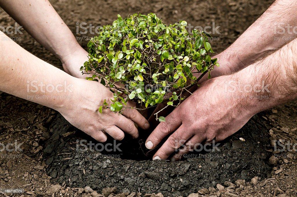 Planting small tree stock photo
