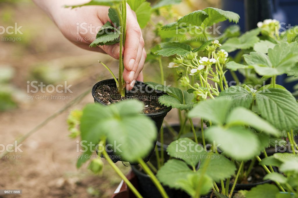 Planting strawberries royalty-free stock photo