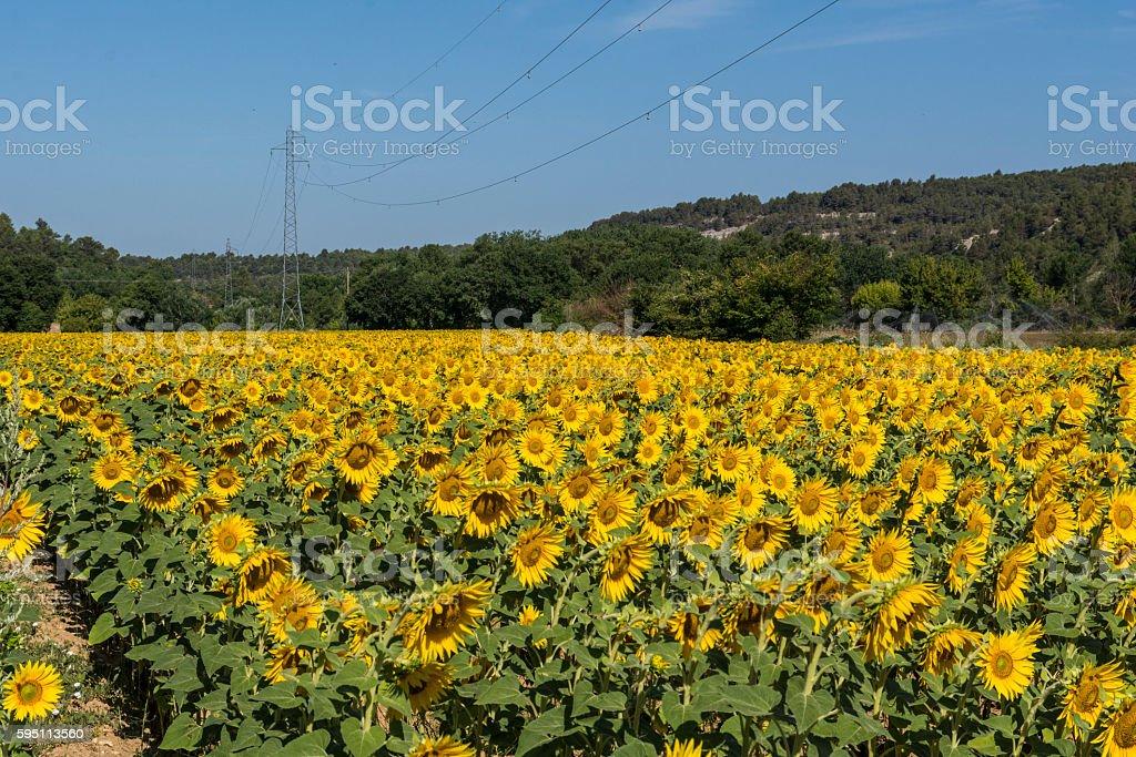 Planting sunflowers stock photo