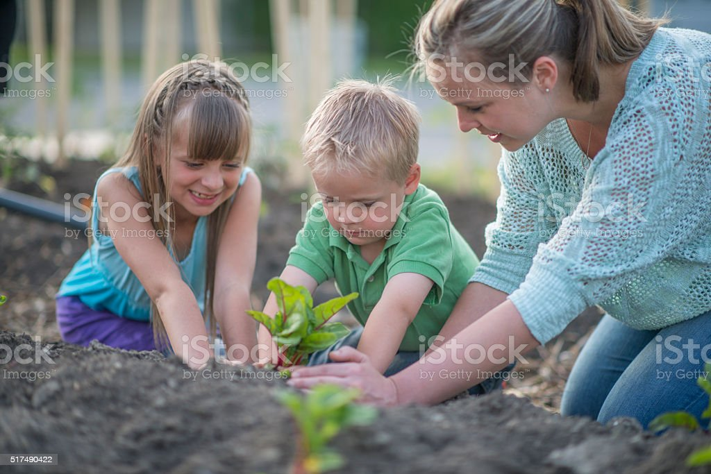 Planting Swiss Chard in a Garden stock photo