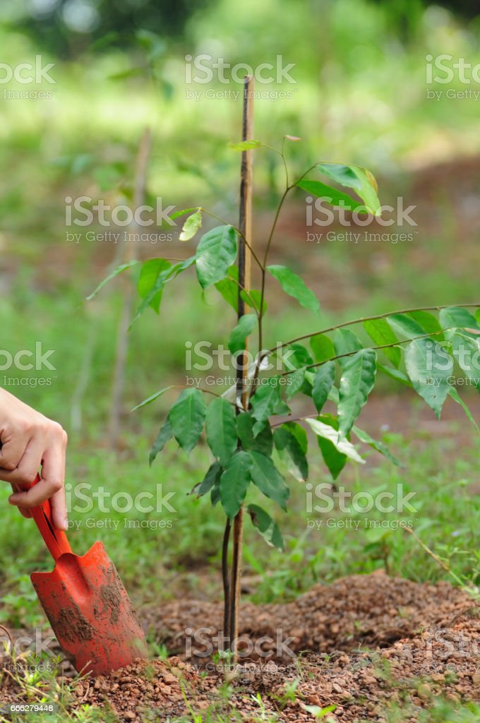 Planting the tree and focus on hand with shovel digs the ground, environment and ecology concept stock photo