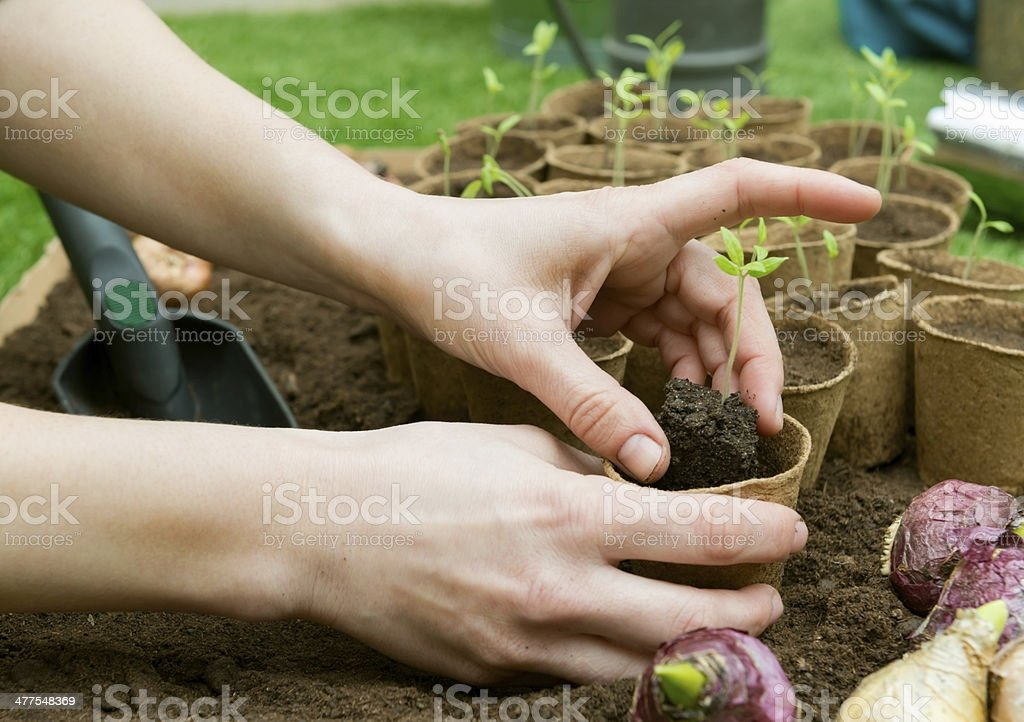 Planting tomatoes in Jiffy pots stock photo