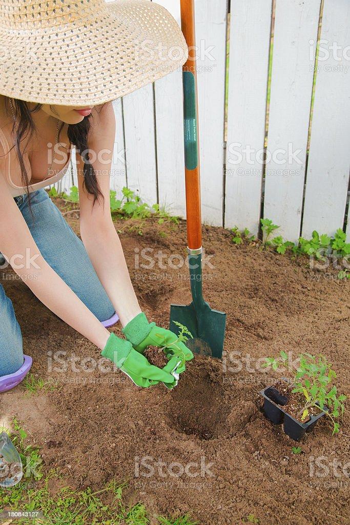 Planting Tomatoes stock photo