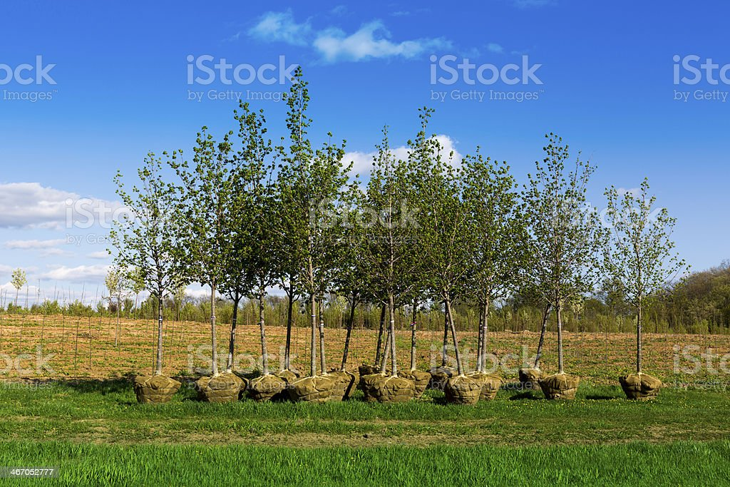 planting trees stock photo