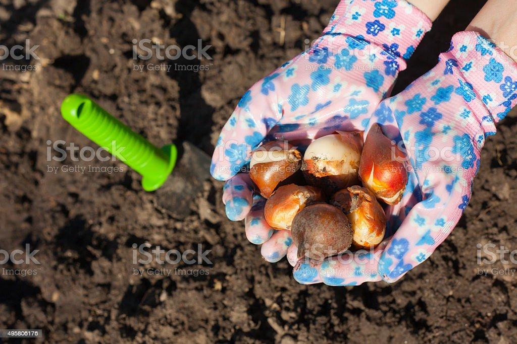Planting tulip bulb stock photo