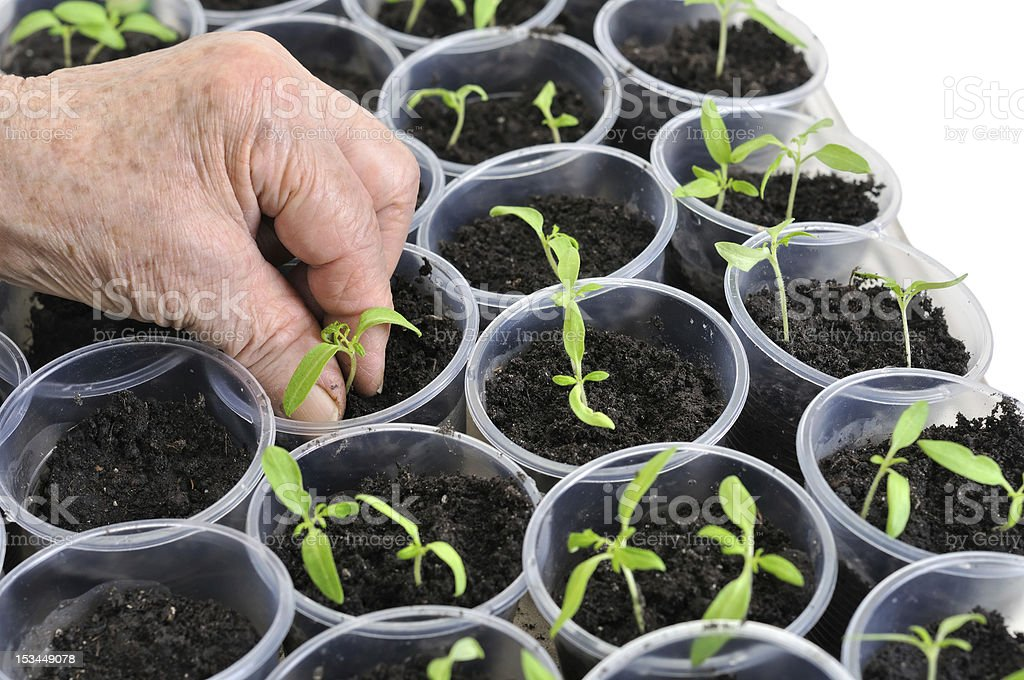 planting young tomato seedlings royalty-free stock photo