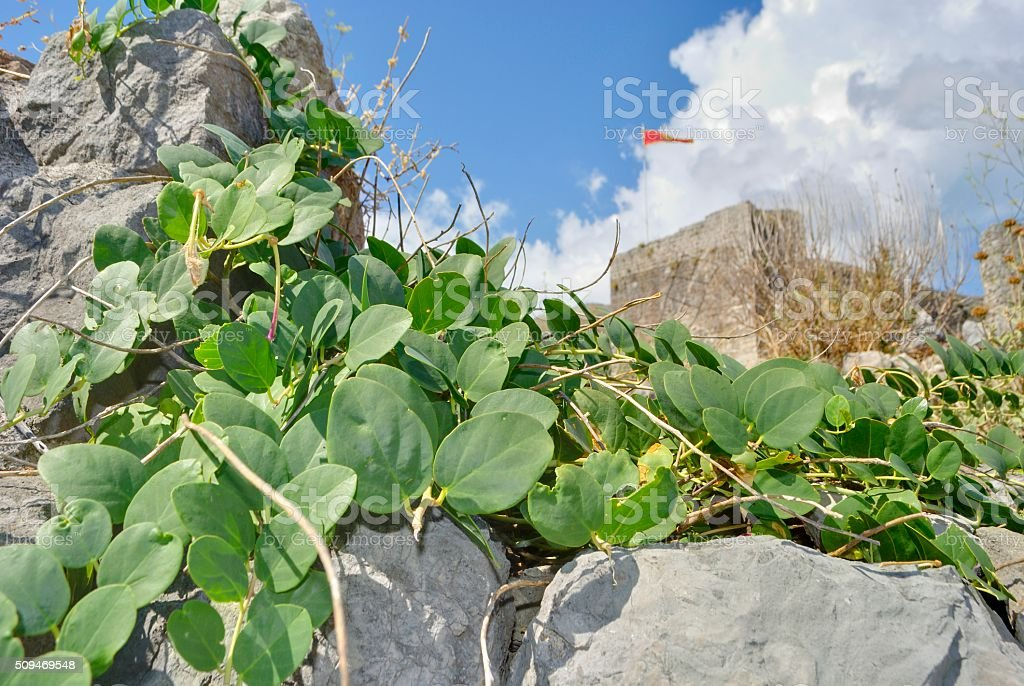 Plants against a background of old fortress. stock photo