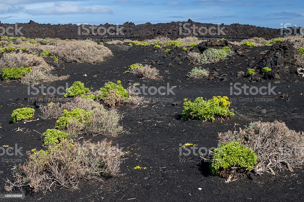 Plants growing on the nutrient-poor soil of volcano stock photo