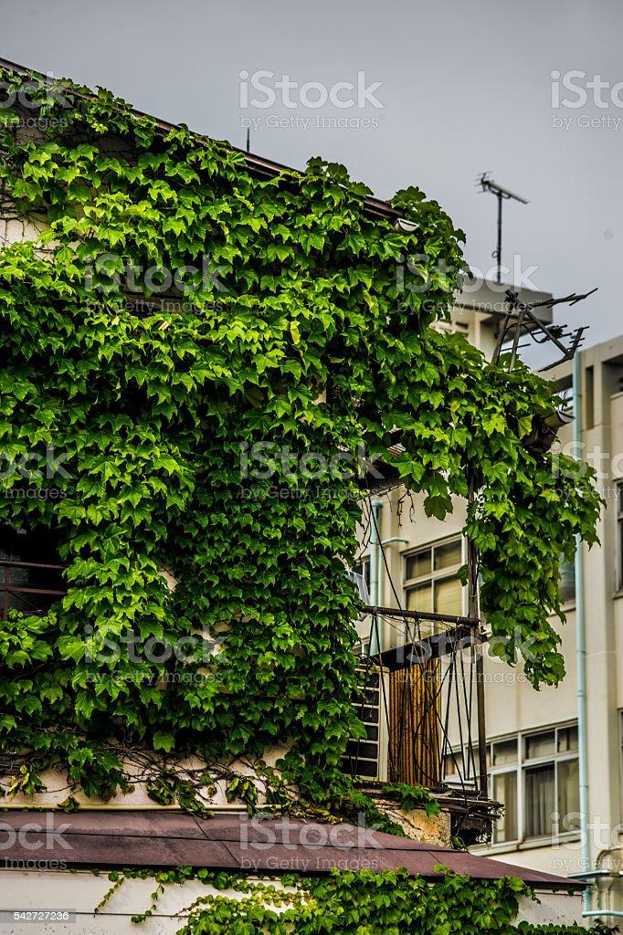 Lierre plantes (vins) couvert bâtiments (logement, libre de maisons) photo libre de droits