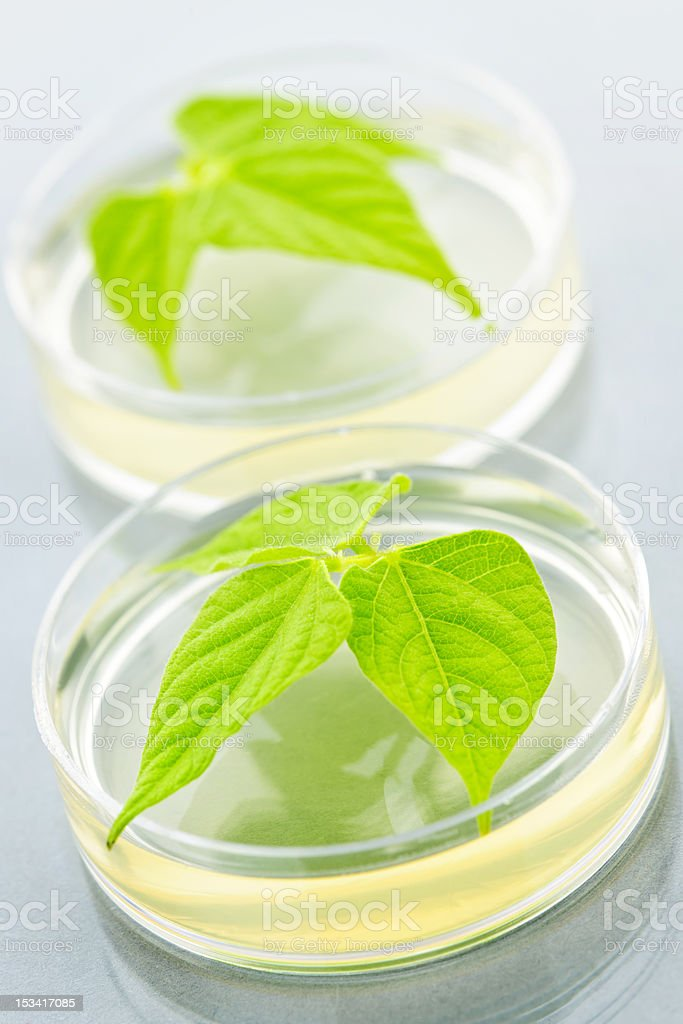 GM plants in petri dishes royalty-free stock photo