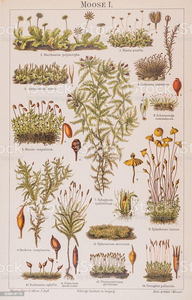 Plants moss Lithograph 1896 stock photo