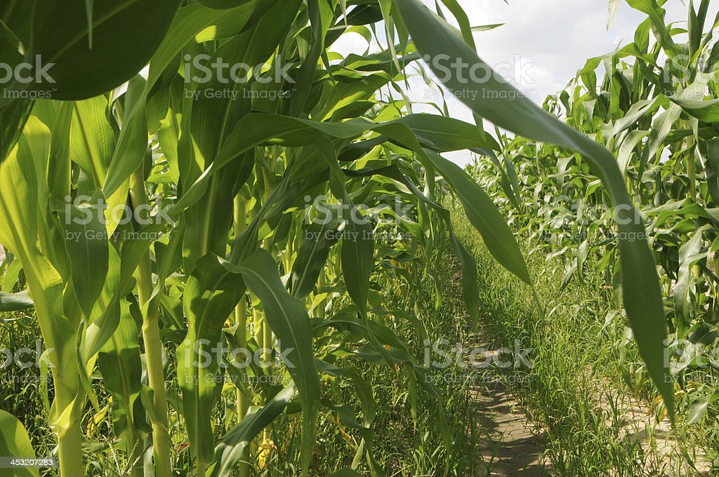 Plants of Corn Stalks in field royalty-free stock photo
