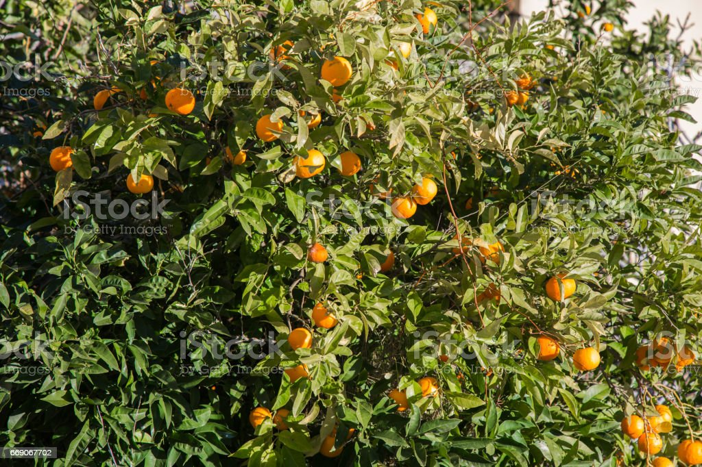 Plants of oranges January in the Cinque Terre in Liguria, Italy. stock photo