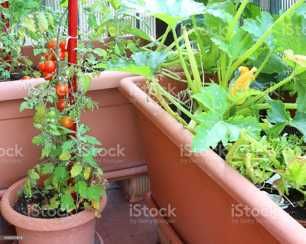 plants of tomatoes and zucchini stock photo