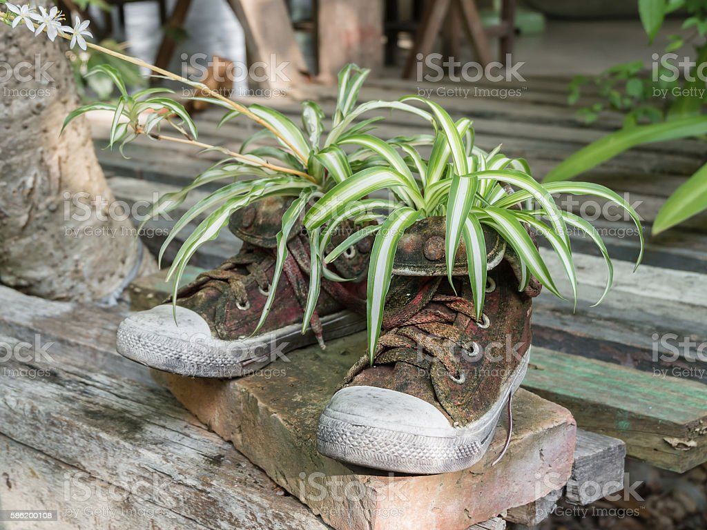 Plants on old shoes (instead of flowerpot) stock photo