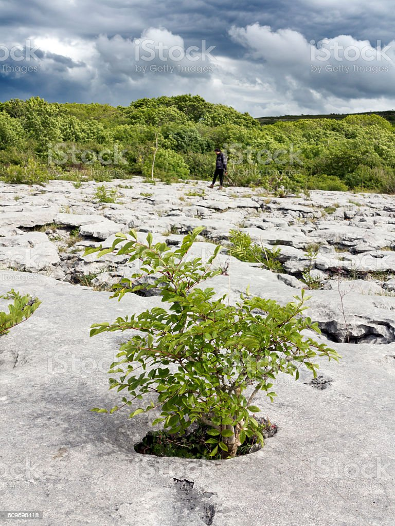 Plants surviving on the limestone of The Burren, Clare, Ireland stock photo