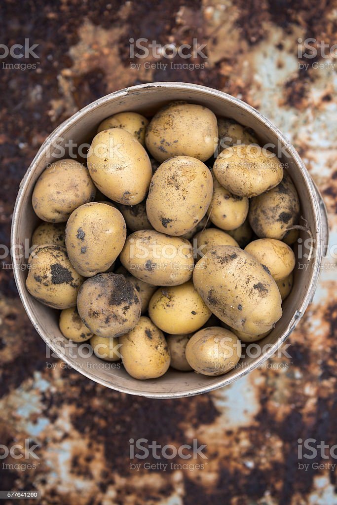 Plastic bucket filled with freshly picked potatoes stock photo