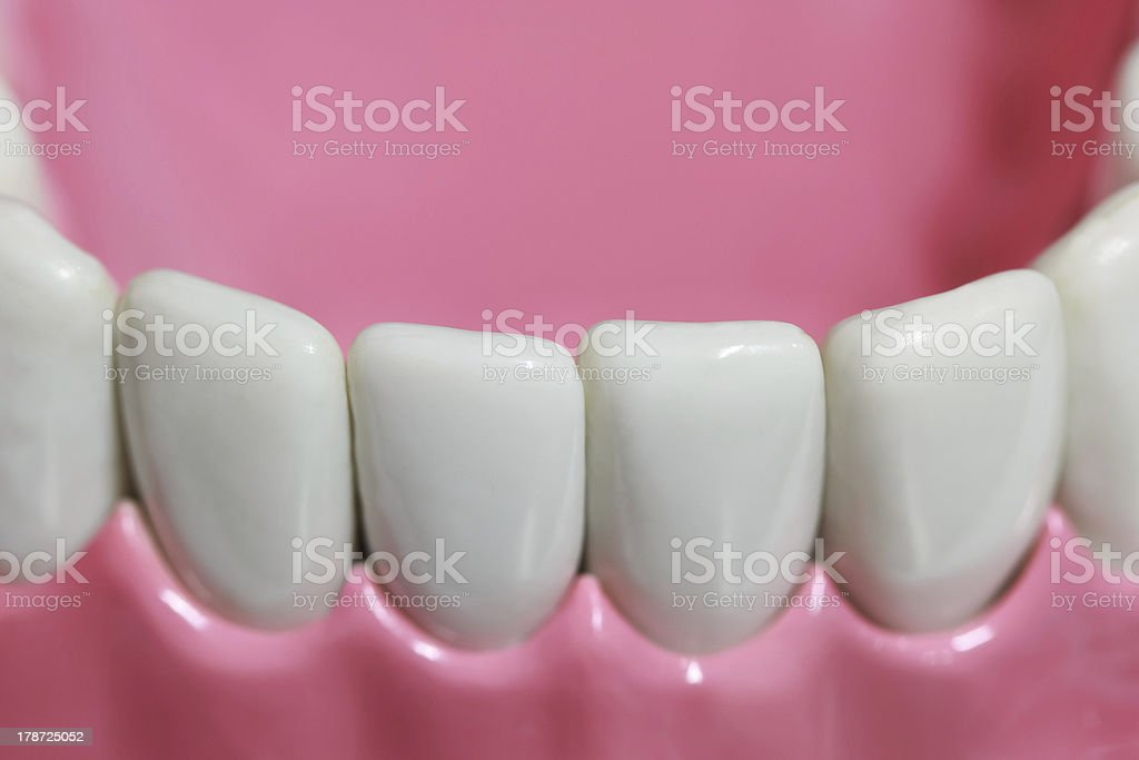 Plastic teeth and gum model stock photo