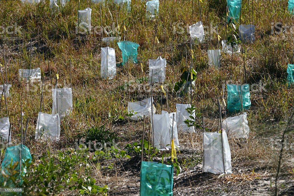 plastic tree planting protectors for dune stabilization stock photo