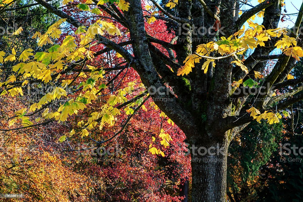 platan (plane) tree with remaining leaves in late autumn stock photo