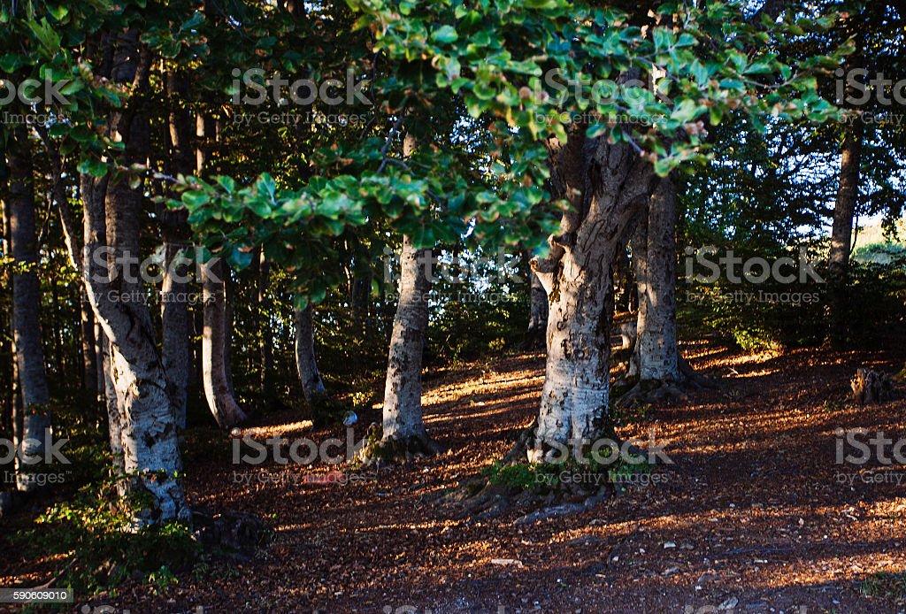 Platanus forest near Krushevo, Makedonia stock photo