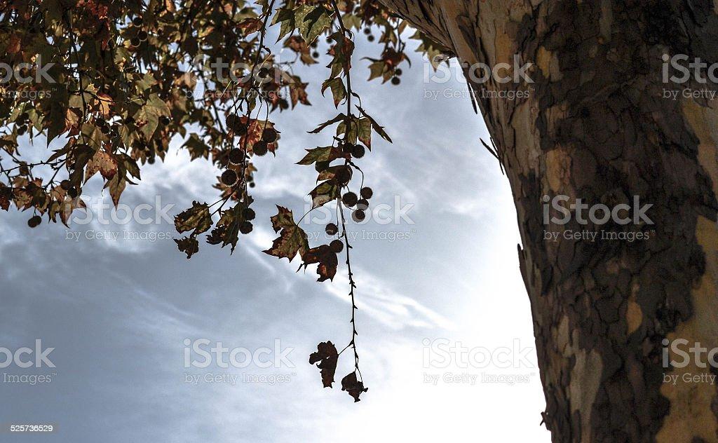 Platanus × hispanica stock photo