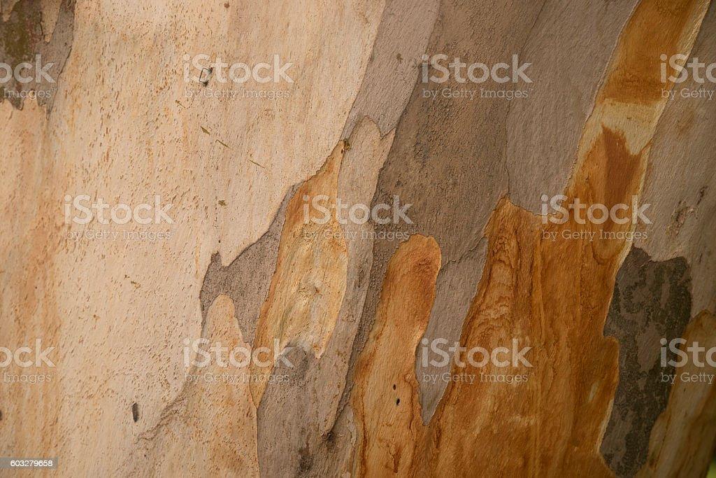 Platanus or plane tree bark texture, camouflage pattern stock photo