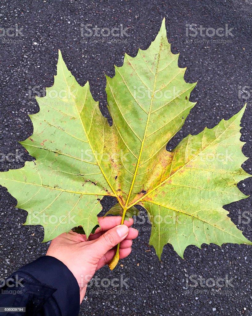 Platanus orientalis fallen leaf stock photo