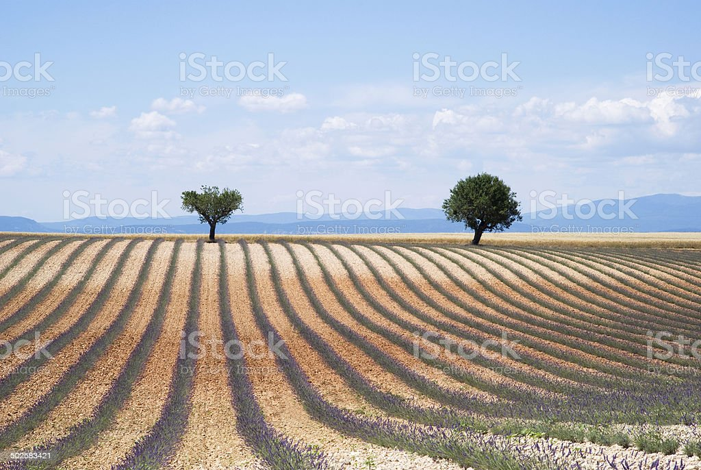 Plateau Valensole stock photo