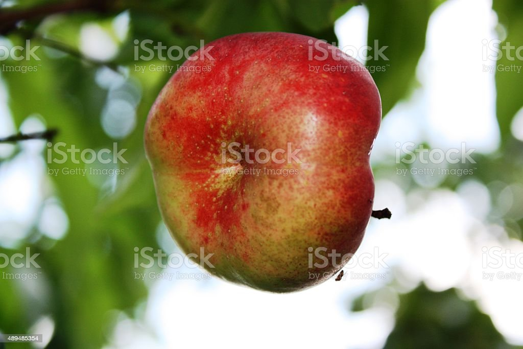 Plates nectarine on a tree in the garden stock photo