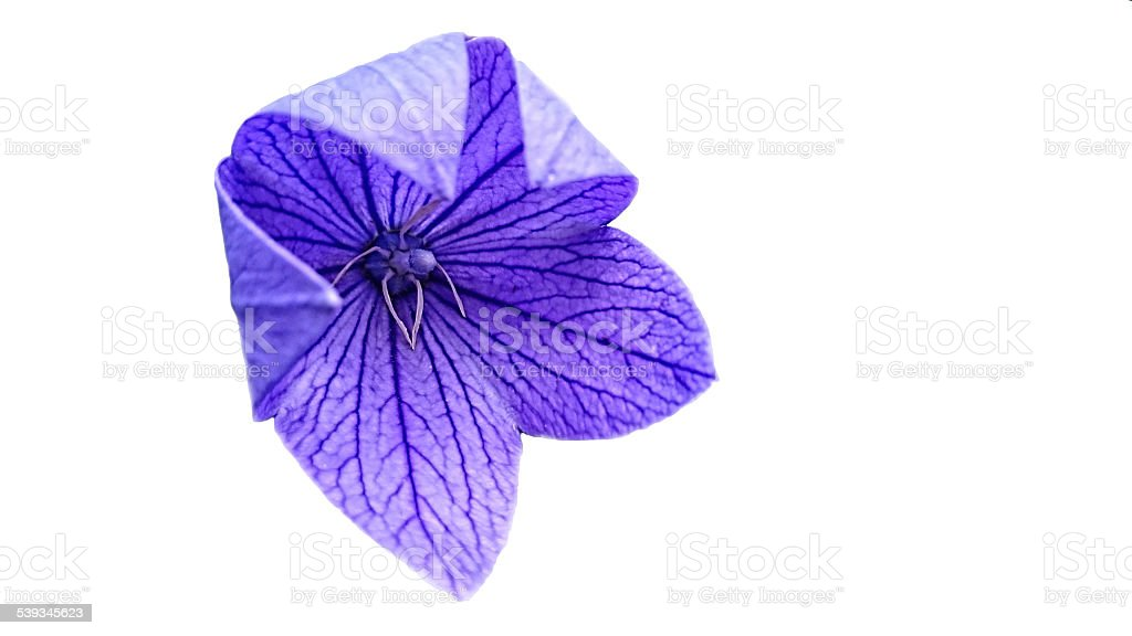 Platycodon grandiflorus blue blossom stock photo
