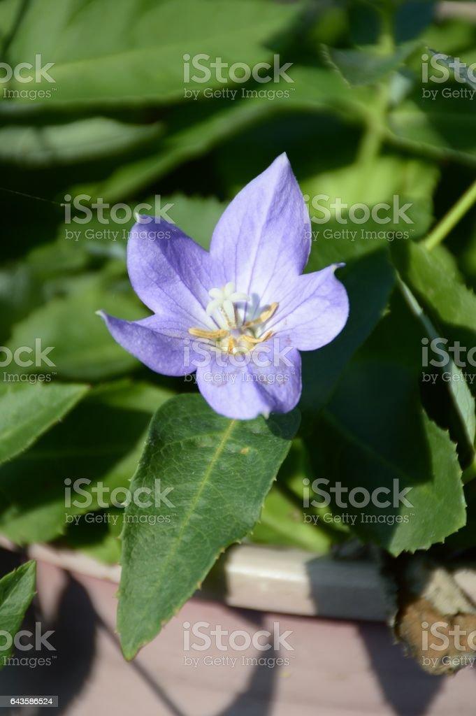 platycodon grandiflorus flower stock photo