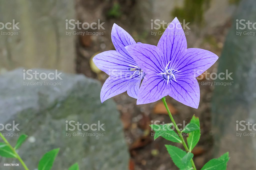 Platycodon grandiflorus stock photo