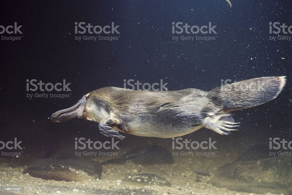 platypus royalty-free stock photo