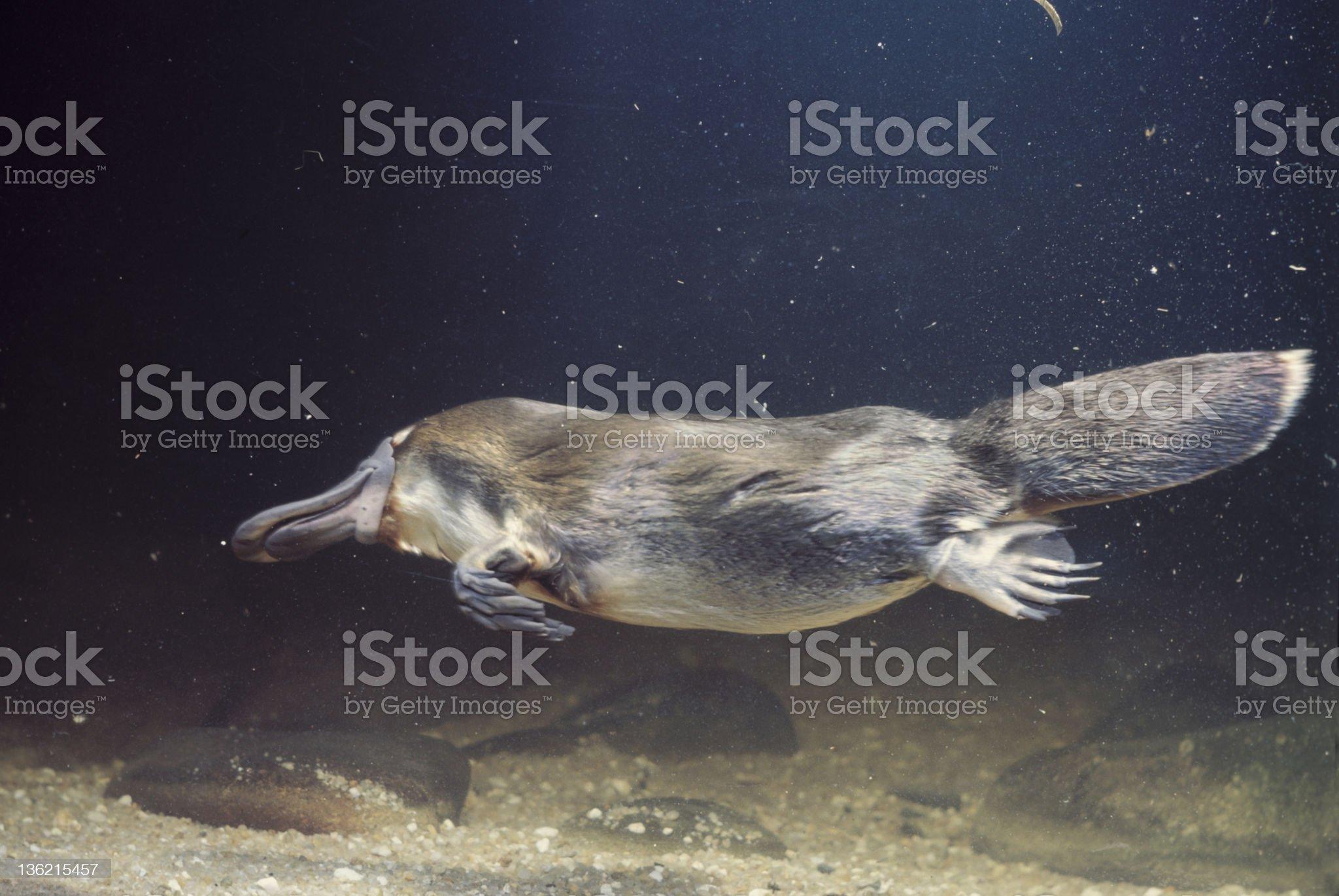 platypus royalty-free stock photo