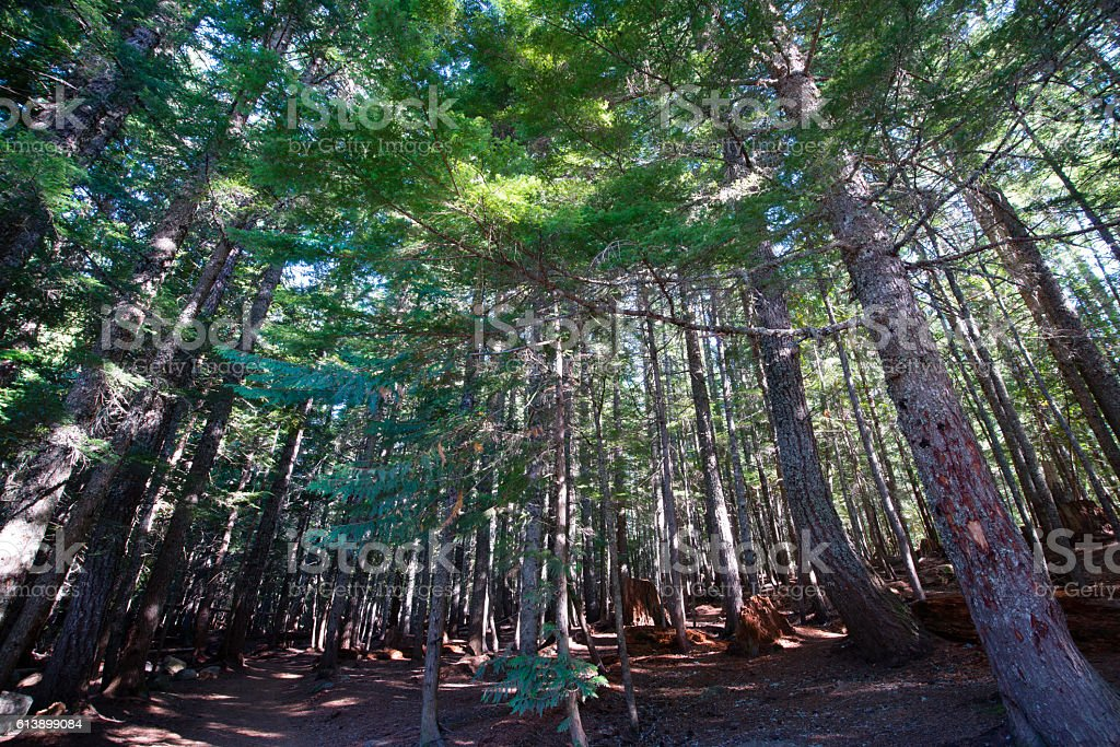 Play of light and shade on old pine forest stock photo