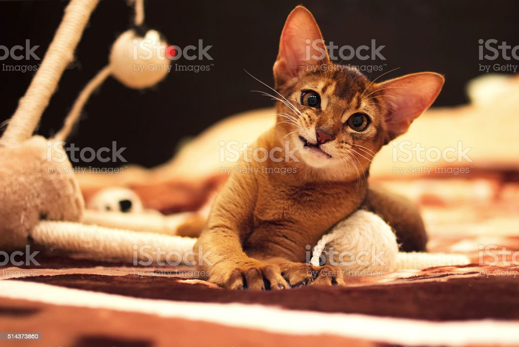 Playful abyssinian cat hunting toy mouse stock photo