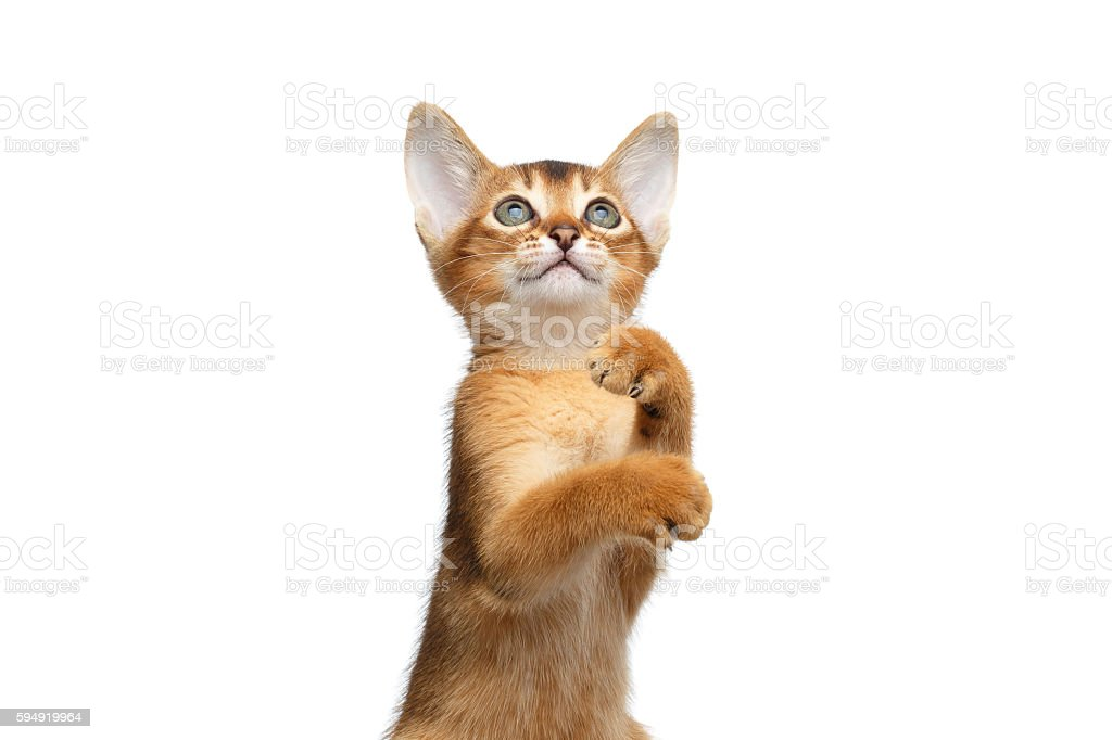 Playful Abyssinian Kitty Curious Standing on Isolated White Background stock photo