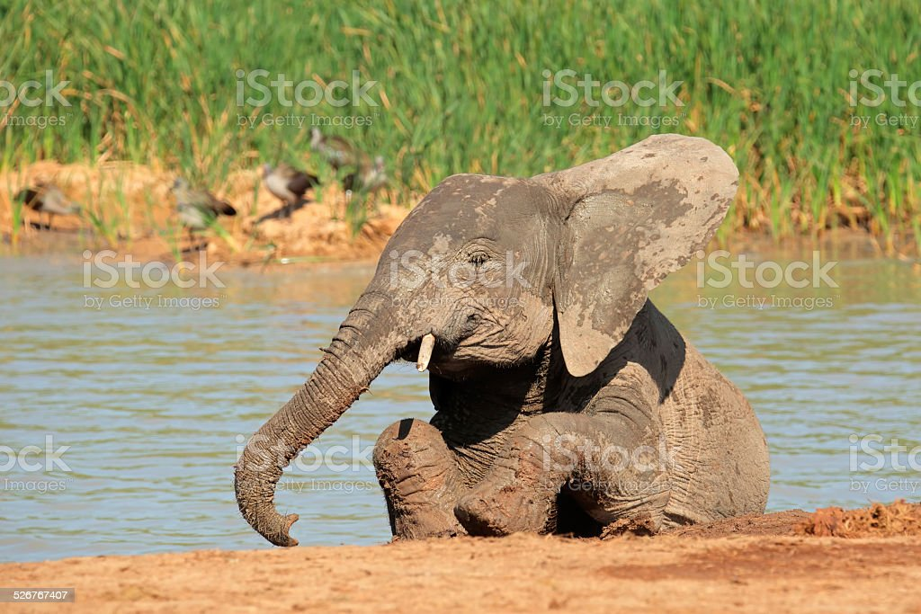 Playful African elephant stock photo