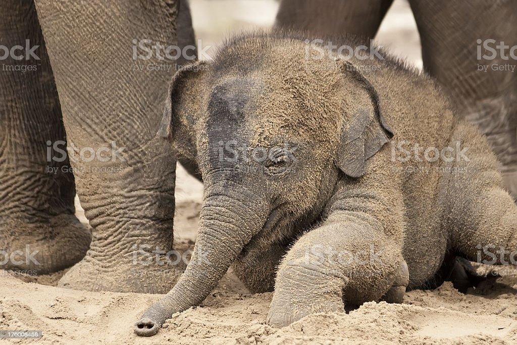 Playful baby elephant royalty-free stock photo