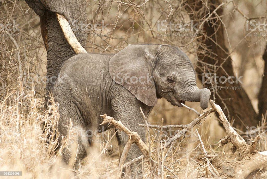 playful baby elephant stock photo