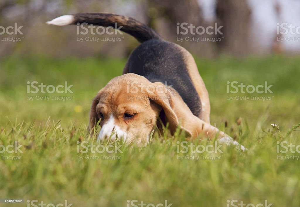 Playful beagle puppy in grass stock photo