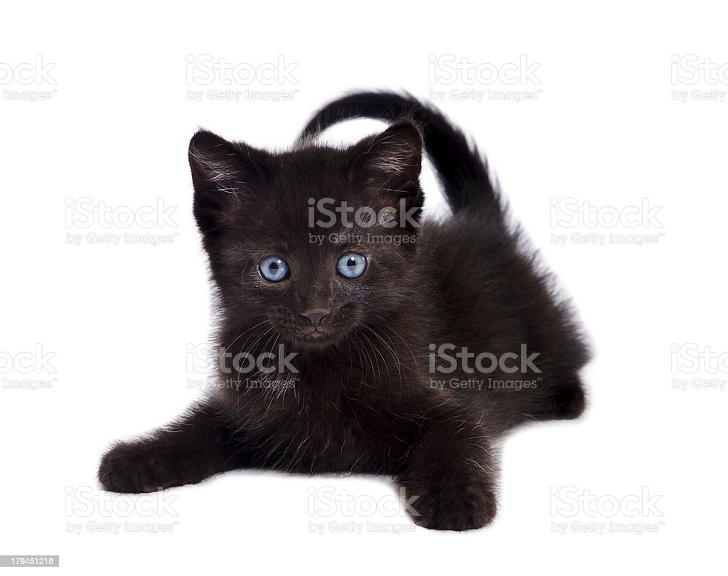 Playful Black Kitten royalty-free stock photo