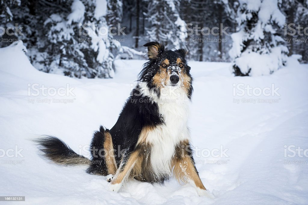 playful border collie husky sits in snow royalty-free stock photo