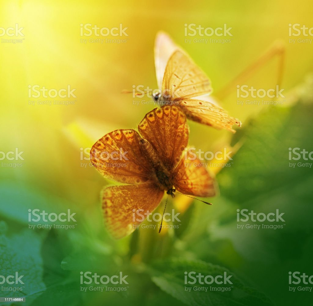 Playful butterflies royalty-free stock photo
