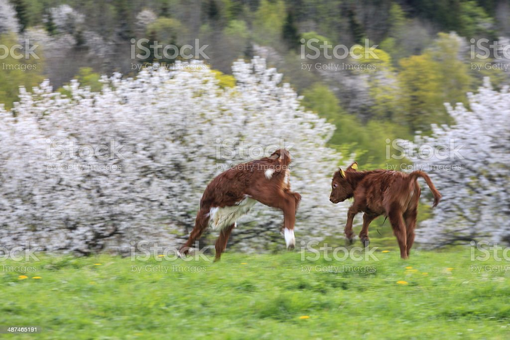 Playful calfs stock photo