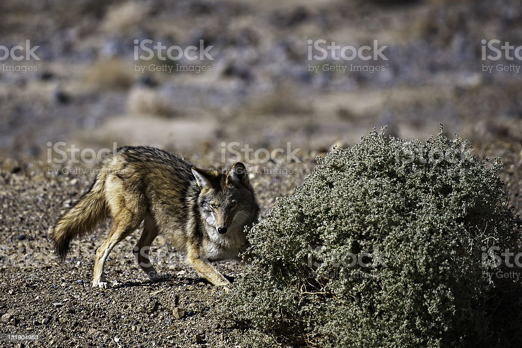 Playful Coyote stock photo